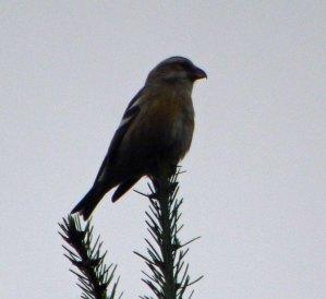 Two barred Crossbill, female, Kensley Lodge