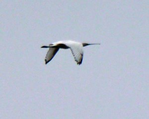 Spoonbill, Severn, 23 Sep 13, MJMcGill