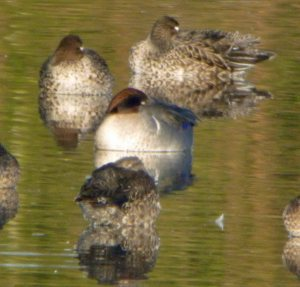Green winged Teal, MJMcGill