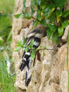 Hoopoe sheltering from rain, Quinta de Lago (3) copy
