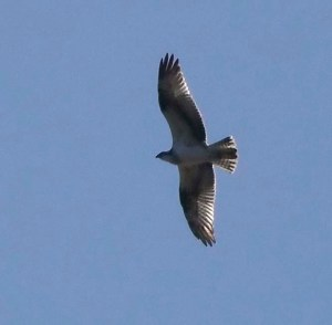 Osprey, Odiel Marshes, Huelva, 29 Oct 13, MJMcGill (4) copy