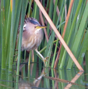 Little Bittern at dusk, Lagoa de Sao Laurenco, MJMcGill (3) copy