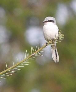 Great Grey Shrike, FoD, MJMcGill 29 Nov 13
