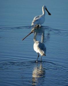 Spoonbills, Quinta del Lago, 26 Oct 13, MJMcGill copy