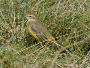 Yellow Wagtail, Dumbles, MJMcGill 10 Sep 13 (5)_edited-1
