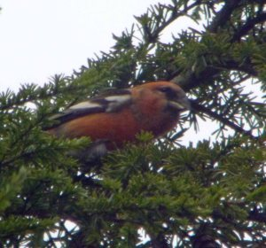 Two barred Crossbill, male, Kensley Lodge, MJMcGill