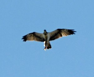 Osprey, Odiel Marshes, Huelva, 29 Oct 13, MJMcGill (3) copy