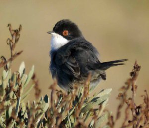 Sardinian Warbler, Tavira, Portugal, 30 Oct 13, MJMcGill 001copy