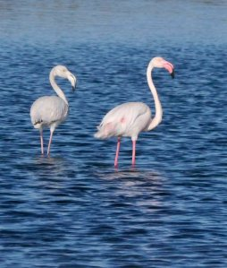 Greater Flamingo, Tavira, Portugal (2) copy