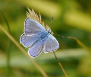 Blue butterfly, Painswick Beacon, 26 Aug 13, MJMcGill