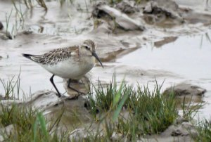 Curlew Sandpiper, Severn, 23 Sep 13, MJMcGill