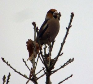 Hawfinch, Crabtree Hill