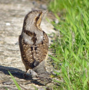 Wryneck, Severn House Farm, 13 Oct 13, MJMcGill (5) copy