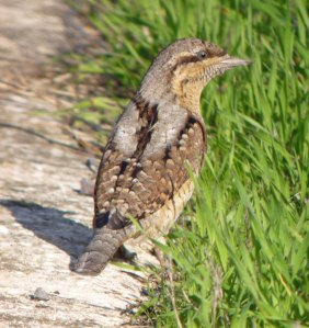 Wryneck, Severn House Farm, 13 Oct 13, MJMcGill (7) copy