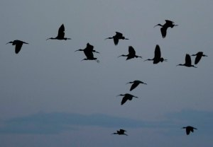 Glossy Ibis coming in to roost, Lagoa de Sao Laurenco, MJMcGill copy
