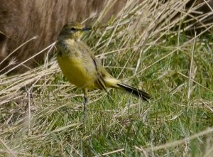 Yellow Wagtail, Dumbles, MJMcGill 10 Sep 13 (4)_edited-1