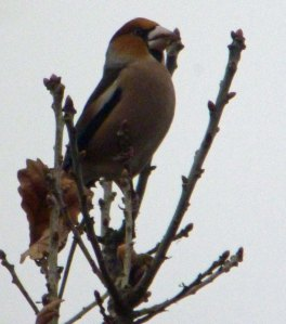 Hawfinch, Crabtree Hill, FoD