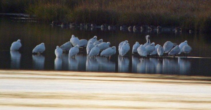 Spoonbill flock, Holes Bay, Dorset