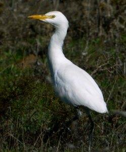 Cattle Egret, Odiel Marhse, Huelva, MJMcGill (2) copy