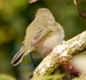 Siberian Chiffchaff, WWT Slimbridge, 4 November 2013, MJMcGill (10) copy