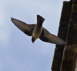 Crag Martins, Almonaster la Real, Huelva, 28 Oct 13, MJMcGill copy