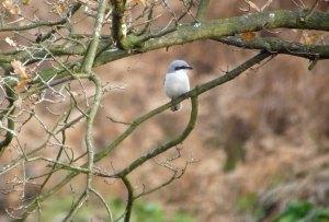 Great Grey Shrike, Staple Edge Wood, FoD, MJMcGill, 29 Nov 13