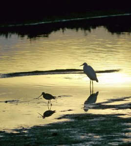 Sunset Bar tailed Godwit and Little Egret, Quinta de Lago, MJMcGill copy