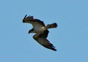Osprey, Odiel Marshes, Huelva, 29 Oct 13, MJMcGill (7) copy