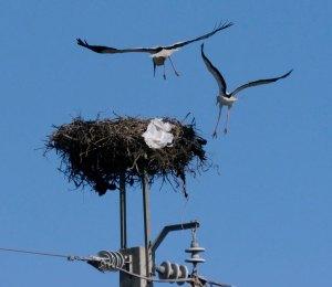 White Storks scrapping, Castro Marim, MJMcGill