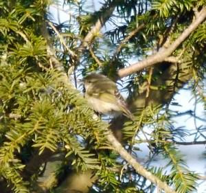 Hume's Leaf Warbler, Northants, 001,