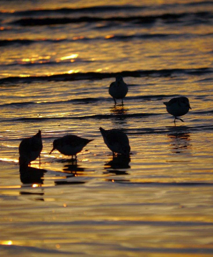 Sanderling, Sandbanks, Dorset, MJMcGill