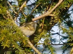 Hume's Leaf Warbler, Northants,
