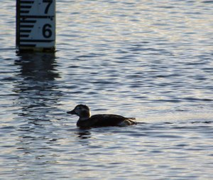 Long-tailed Duck, Junction pool, Marshside, MJMcGill