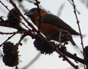 Crossbill, male, Serridge