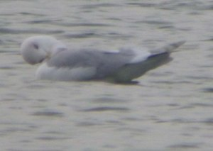 Kumlien's Gull, adult, CWP Pit 57, 10 Jan 2014, MJMcGill, 004 (1)
