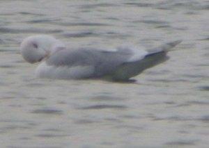 Kumlien's Gull, adult, CWP Pit 57, 10 Jan 2014, MJMcGill, 004 (1)