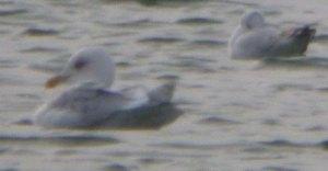 Kumlien's Gull, adult, CWP Pit 57, 10 Jan 2014, MJMcGill 001