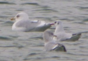 Kumlien's Gull, adult, CWP Pit 57, 10 Jan 2014, MJMcGill, 003 (1)