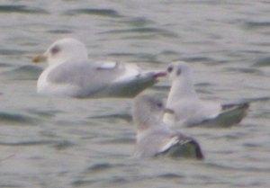 Kumlien's Gull, adult, CWP Pit 57, 10 Jan 2014, MJMcGill, 003 (1)