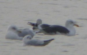 Kumlien's Gull, adult, CWP Pit 57, 10 Jan 2014, MJMcGill,005 (2)