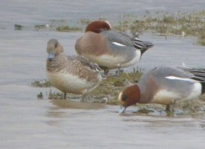 poss American Wigeon, female, Dumbles, 03-03-14, MJMcGill