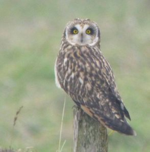 Short-eared Owl, 20-01-14, MJMcGill