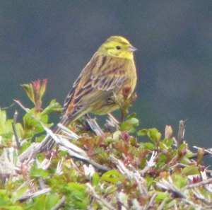 Yellowhammer, male, Whitminster, 27 Mar 14, MJMcGill