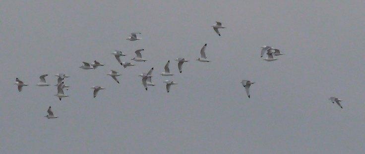 Kittiwake, Severn, 1st flock, 04-04-14, MJMcGill