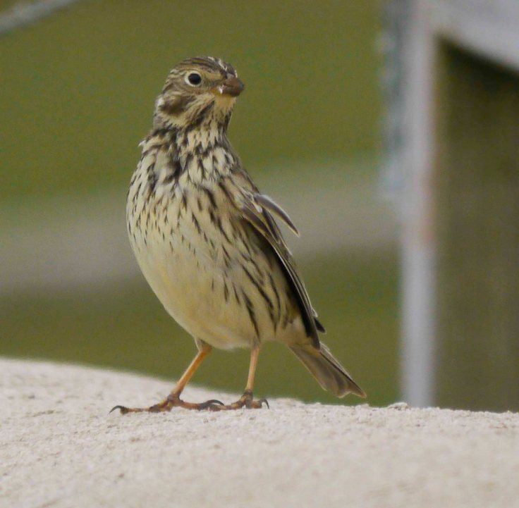 Corn Bunting, 31 Mar 14, MJMcGill 001