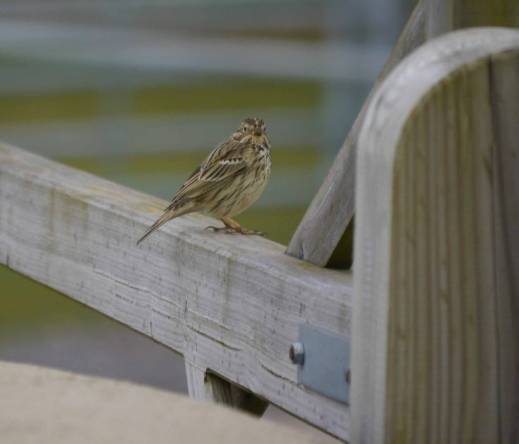 Corn Bunting, 31 Mar 14, MJMcGill