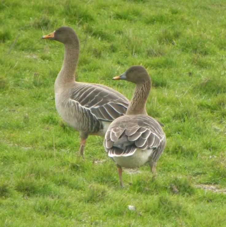 Taiga Bean Geese, male and female, Dumbles, 31-03-14, MJMcGill