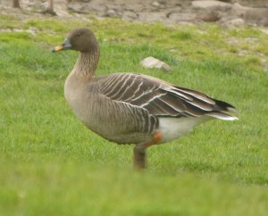 Taiga Bean Goose, female, 31-03-14, Dumbles, MJMcGill