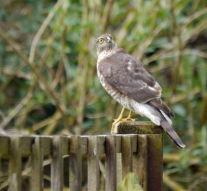 Sparrowhawk, female, Whitminster, March 14, MJMcGill