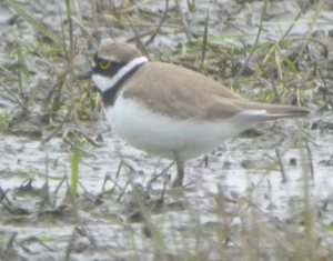Little ringed Plover, Saul, 28-03-14, MJMcGill